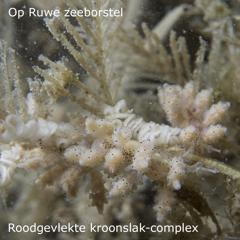 Roodgevlekte kroonslak-complex