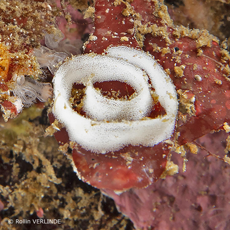 Breedkop-harlekijnslak