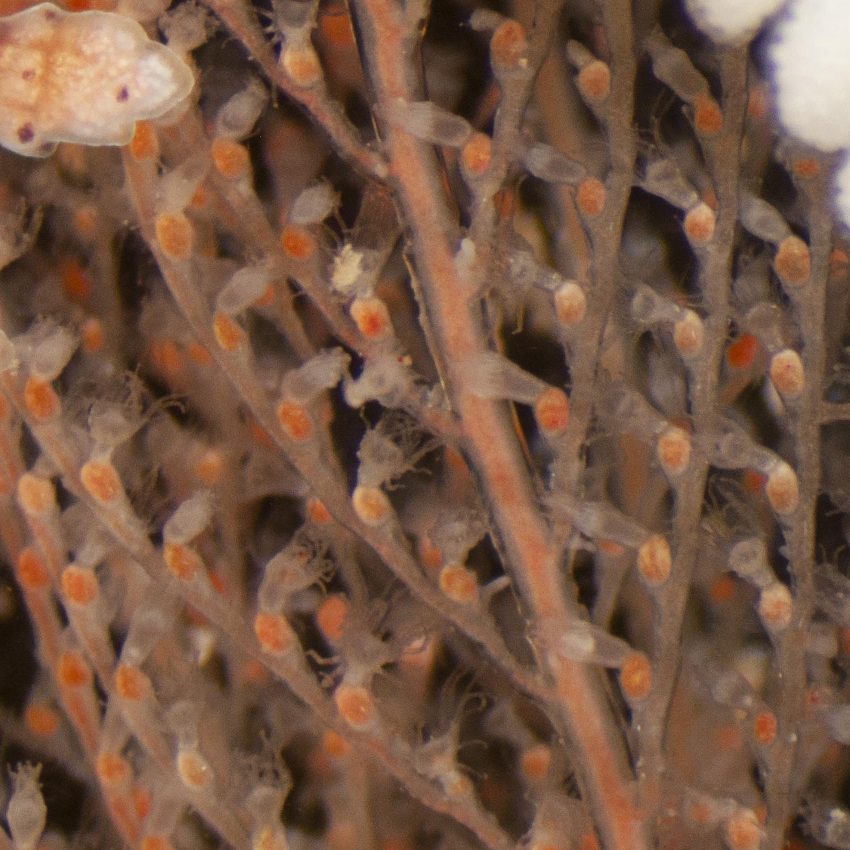Veelstippige kroonslak